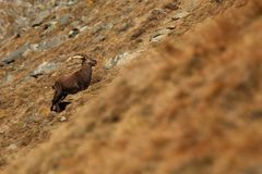 Capra ibex. Photo was taken in Italy. It is found in southern Europe. Capra ibex. Photo was taken in Italy. It is found in southern Europe, less in the Western Royalty Free Stock Images