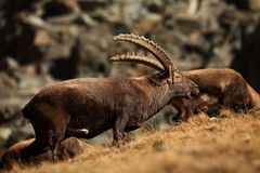 Capra ibex. Photo was taken in Italy. It is found in southern Europe. Capra ibex. Photo was taken in Italy. It is found in southern Europe, less in the Western Royalty Free Stock Photography