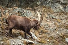 Capra ibex. Photo was taken in Italy. It is found in southern Europe. Capra ibex. Photo was taken in Italy. It is found in southern Europe, less in the Western Stock Photography