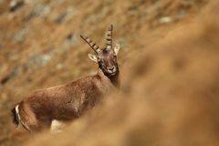 Capra ibex. Photo was taken in Italy. It is found in southern Europe. Capra ibex. Photo was taken in Italy. It is found in southern Europe, less in the Western Stock Photo
