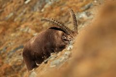 Capra ibex. Photo was taken in Italy. It is found in southern Europe. Capra ibex. Photo was taken in Italy. It is found in southern Europe, less in the Western Royalty Free Stock Image