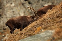 Capra ibex. Photo was taken in Italy. It is found in southern Europe. Capra ibex. Photo was taken in Italy. It is found in southern Europe, less in the Western Royalty Free Stock Photo
