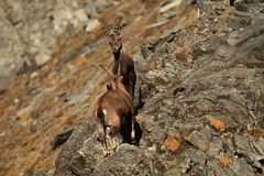 Capra ibex. Photo was taken in Italy. It is found in southern Europe. Capra ibex. Photo was taken in Italy. It is found in southern Europe, less in the Western Stock Images