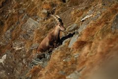 Capra ibex. Photo was taken in Italy. It is found in southern Europe. Capra ibex. Photo was taken in Italy. It is found in southern Europe, less in the Western Stock Photos