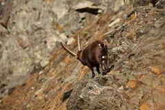 Capra ibex. Photo was taken in Italy. It is found in southern Europe. Capra ibex. Photo was taken in Italy. It is found in southern Europe, less in the Western Stock Image
