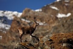 Capra ibex. Photo was taken in Italy. It is found in southern Europe. Capra ibex. Photo was taken in Italy. It is found in southern Europe, less in the Western Stock Photo