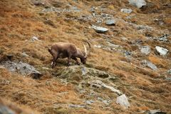Capra ibex. Photo was taken in Italy. It is found in southern Europe. Capra ibex. Photo was taken in Italy. It is found in southern Europe, less in the Western Stock Photos