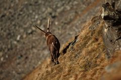 Capra ibex. Photo was taken in Italy. It is found in southern Europe. Capra ibex. Photo was taken in Italy. It is found in southern Europe, less in the Western Royalty Free Stock Photos