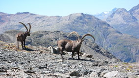 Ibex in the Swiss Alps Stock Image