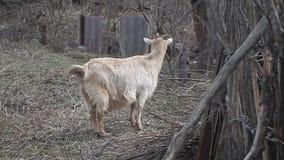 Capra leggera adulta con capelli lunghi e supporti curvi dei corni sui precedenti dell'acacia video d archivio
