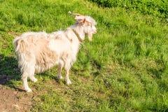 Capra maschio bianca Immagini Stock