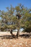 Capra nell'albero del argan Fotografia Stock Libera da Diritti