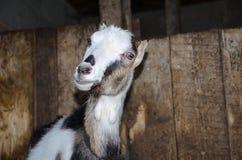 Capra nella stalla Fotografie delle capre in un habitat reale Fotografia Stock Libera da Diritti