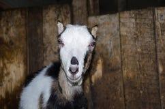 Capra nella stalla Fotografie delle capre in un habitat reale Immagini Stock