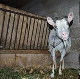 Capra nella stalla Fotografie delle capre in un habitat reale Fotografia Stock