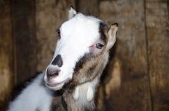 Capra nella stalla Fotografie delle capre in un habitat reale Immagine Stock Libera da Diritti