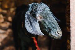 Capra nera asiatica sveglia dall'Himalaya Fotografia Stock