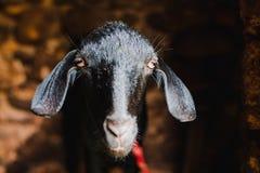 Capra nera asiatica sveglia dall'Himalaya Immagine Stock Libera da Diritti