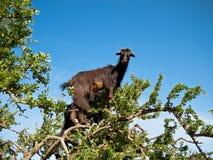 Capra nera che sta su un albero Immagini Stock Libere da Diritti