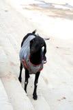 Capra nera in una camicia violenta Fotografie Stock