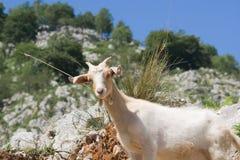 Capra in Picos de Europa Fotografia Stock Libera da Diritti