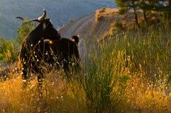 Capra scura all'indicatore luminoso di tramonto fotografia stock libera da diritti