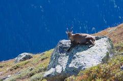 Capra selvaggia in alte montagne Fotografia Stock Libera da Diritti
