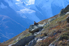 Capra selvaggia in alte montagne Fotografia Stock