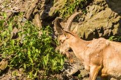 Capra selvaggia che mangia le foglie in natura Fotografia Stock Libera da Diritti