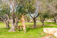Capra selvaggia in Negev Fotografia Stock Libera da Diritti