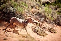 Capra selvaggia nel deserto Fotografie Stock
