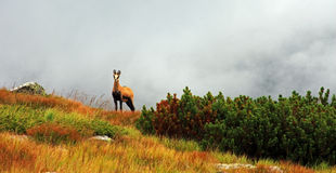 Capra selvaggia sulla montagna Fotografie Stock