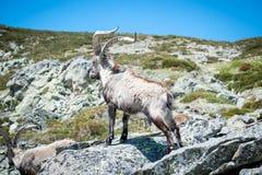 Capra selvaggia sulla roccia nella priorità alta Fotografie Stock Libere da Diritti