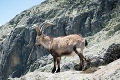 Capra selvaggia sulla roccia nella priorità alta Fotografia Stock Libera da Diritti