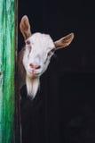 Capra senza corna curiosa Fotografia Stock Libera da Diritti