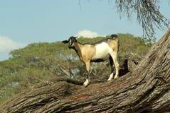 Capra africana Immagini Stock