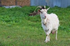 Capra sul prato verde di estate Fotografia Stock Libera da Diritti