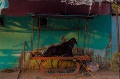 Capra sul vecchio carretto arrugginito Fotografia Stock