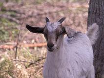 Capra sulla riserva naturale a Skala Kalloni Lesvos Grecia Fotografie Stock