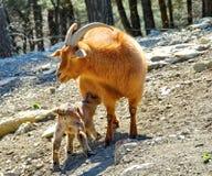 Западный кавказский Capra tur caucasica коз-антилопа гор-жилища нашел только в западной половине гор Кавказ стоковое фото rf