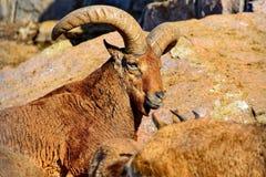 Западный кавказский Capra tur caucasica коз-антилопа гор-жилища нашел только в западной половине гор Кавказ стоковое фото
