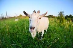 Capra in un campo verde Tiro di foto divertente della capra su un fish-eye Immagini Stock