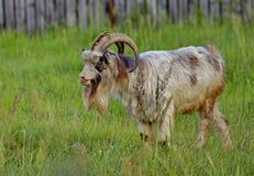 Capra in un orto domestico Ritratto, primo piano La capra ? uno dei primi animali domestici Addomesticato in Medio Oriente fotografia stock