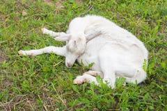 Capra in un recinto per bestiame addormentato sull'erba Immagini Stock Libere da Diritti