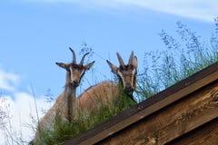 Capra in un tetto in Norvegia Immagini Stock