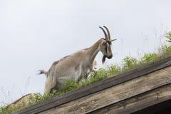 Capra in un tetto in Norvegia Fotografia Stock