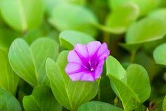 Caprae brotó en la playa y la luz hermosa - púrpuras - flujo fotografía de archivo libre de regalías