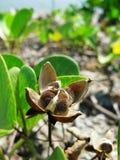 capraeipomoeapes s kärnar ur Royaltyfria Foton