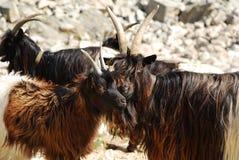 Capre alpine Immagini Stock