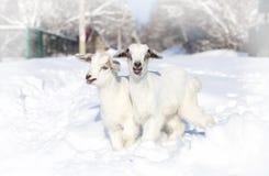 Capre bianche del bambino su neve Fotografie Stock